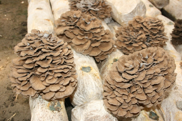 maitake-close-up