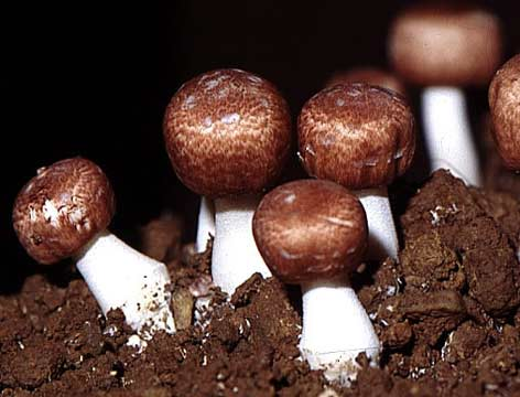 Image result for market for agaricus blazei in japan
